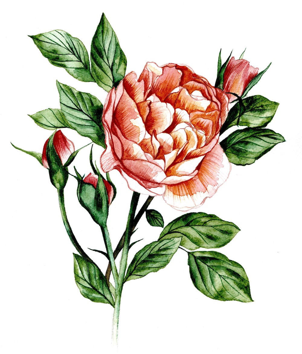 Watercolour illustration of a rose for part of a wedding stationery suite