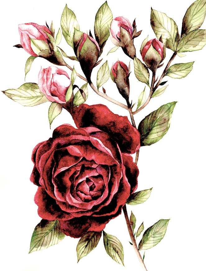 Burgundy rose watercolour design