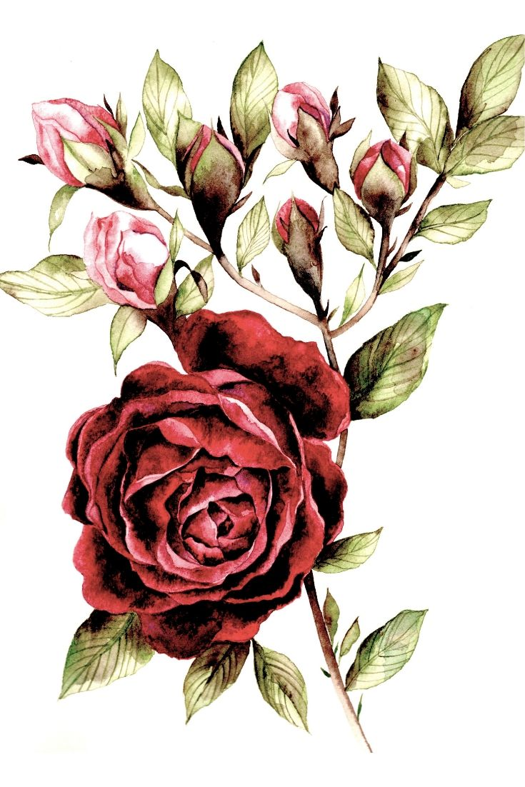 Watercolour of a burgundy rose illustration