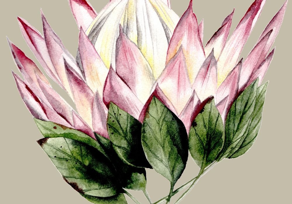 Bright pink protea watercolour illustration